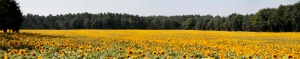 panorama sonnenblumenfeld
