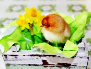 osterküken by annalena egger